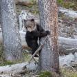 Grizzlyberen fotograferen in YellowStone National Park