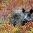 Wild fotograferen in Nederland - wilde zwijnen