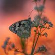 De top 10 vlinderfoto's op Zoom.nl 2019