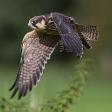 Expertuitdaging: Vogels in vlucht fotograferen