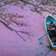 Kersenbloesem tovert Japanse rivieren roze