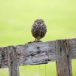 Wild fotograferen in Nederland - uilen