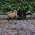 Wild fotograferen in Nederland - Hertachtigen