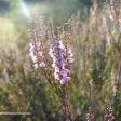 Zeven locaties waar je bloeiende heide kunt fotograferen!