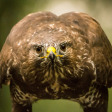 Collectie Indrukwekkende Roofvogels