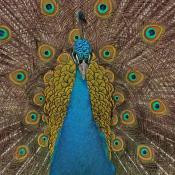 Compositieleer voor beginners © pauw, compositie, veren