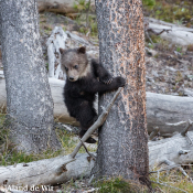 Grizzlyberen fotograferen in YellowStone National Park © yellowstone, beren, F