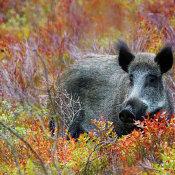 Wild fotograferen in Nederland - wilde zwijnen © IDG NL