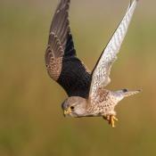 De resultaten van de expertuitdaging: Vogels in vlucht fotograferen © valk, vlucht, expertuitdaging