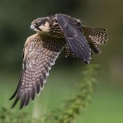 Expertuitdaging: Vogels in vlucht fotograferen © vlucht, experuitdaging, boomvalk