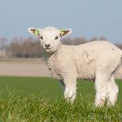 12 leukste foto's van lammetjes © lente, lammetjes, schapen, weiland, inspiratie