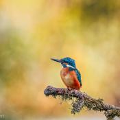 Waar vind je de mooiste Nederlandse wildlife om te fotograferen? © dieren, nederland, ijsvogel