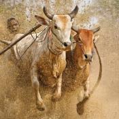 Basiscursus unieke reisfotografie - Hoe voorkom je toeristische plaatjes? © koeienrace, pacu-jawi, reisfotografie