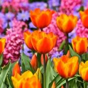 11 kleurrijke bloemen in de Keukenhof © Keukenhof, bloemenveld, bloemen, tulpen, kleurrijk