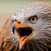 Wild fotograferen in Nederland - roofvogels © IDG NL