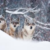 Redactiekeuze: Wolven in de sneeuw