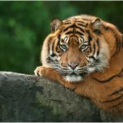Dierenfotografie voor beginners © tijger, dierentuin, close