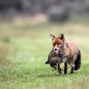 Nederlands Kampioenschap Natuurfotografie  © vos, natuur, prooi, konijn
