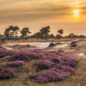 Vijf tips voor het fotograferen van de bloeiende heide © IDG NL