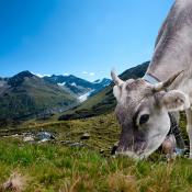 Hoe fotografeer je uitzichten tijdens je vakantie? © landschap, uitzicht, koe, tirol