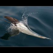 Introductie in de vogelfotografie © Blog, vogelfotografie, tele, gannet, Jan, van, Gent