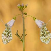 Expertuitdaging: perfecte symmetrie © symmetrie, vlinder, bloem