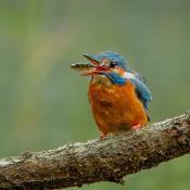 6 belangrijke tips voor het fotograferen van vogels © vogel, ijs, eten