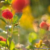 Histogram lezen voor beginners © dalia's, rood, macro, bloem, gras