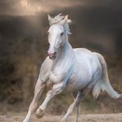 5 belangrijke basis tips voor paardenfotografie © paard, wit, rennen