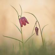 Expertuitdaging: Voorjaarsbloeiers © voorjaar, kievitsbloem, lente