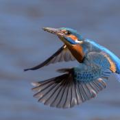 Vijf redenen om vanaf nu in de M-stand te fotograferen © ijsvogel, vlucht, scherpte