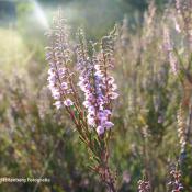 Zeven locaties waar je bloeiende heide kunt fotograferen! © artikel, locaties, heide